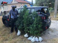 Coltiva in un terreno piante di cannabis indica. Arrestato 53enne di Trecchina