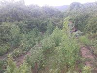Grazie ad un pattugliamento aereo i Carabinieri scoprono rigogliosa piantagione di cannabis a Salerno