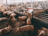 Agricoltura e allevamento. 30 milioni di euro alla filiera suinicola per fronteggiare la crisi da Covid-19