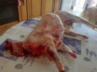 Battipaglia: sorpresi a macellare agnelloni per la Festa del Sacrificio. Denunciati 2 marocchini