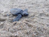 Schiusa di quattro nidi di tartaruga Caretta Caretta nel Cilento. Nati centinaia di piccoli