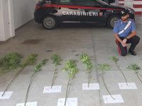 Coltiva canapa indiana in una piantagione nascosta tra alberi e rovi. Arrestato 59enne di Caselle in Pittari