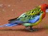 Cerca di vendere sui social un pappagallo australiano di una specie protetta. 26enne denunciato a Paterno