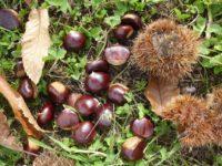 A San Rufo divieto di raccogliere castagne nella proprietà comunale di località Liverti. Multe fino a 150 euro