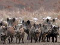 """Emergenza cinghiali nel Parco Nazionale. Ferraioli presenta interrogazione parlamentare:""""Urge intervento"""""""