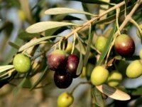 Sostegno al comparto olivico-oleario. Il settore potrà contare su oltre 69 milioni di euro