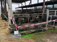 Smaltimento illecito in mare di reflui zootecnici. A Capaccio denunciati 2 titolari di aziende bufaline