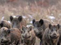 Allarme cinghiali sul territorio di Bella. Il Sindaco emette ordinanza di abbattimento, 23 cacciatori in azione