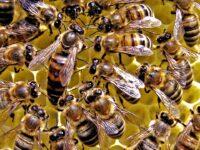Al via biomonitoraggio ambientale con le api nel Parco Nazionale del Cilento, Vallo di Diano e Alburni