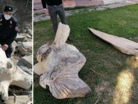 Resti ossei di un cetaceo marino sulla spiaggia del Cilento. Recuperati dal Nucleo Carabinieri Cites