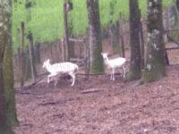 Montesano: due rari esemplari di daini bianchi trasferiti nella Foresta Cerreta Cognole