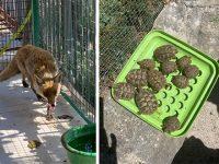 Detiene illegalmente una volpe rossa e 13 tartarughe baby. Scatta il sequestro a Roccadaspide