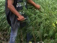 Marijuana tra le piante di mais, arrestato un 30enne ad Agropoli. Sequestrati anche i manuali di istruzioni