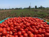 Emergenza pomodoro. Troppo caldo e pochi trasportatori, Campania e Basilicata scrivono al Ministro