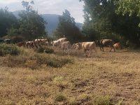 Roscigno: mucche al pascolo nel sito archeologico di Monte Pruno. Turisti indignati