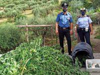 Coltiva 102 piante di cannabis indica ad Albanella. Arrestato pregiudicato