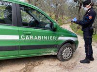 """""""Mafia dei pascoli"""" nel Cilento. Sequestrati bovini non certificati tra Centola e Camerota"""